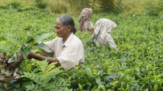 Ceylon-tea